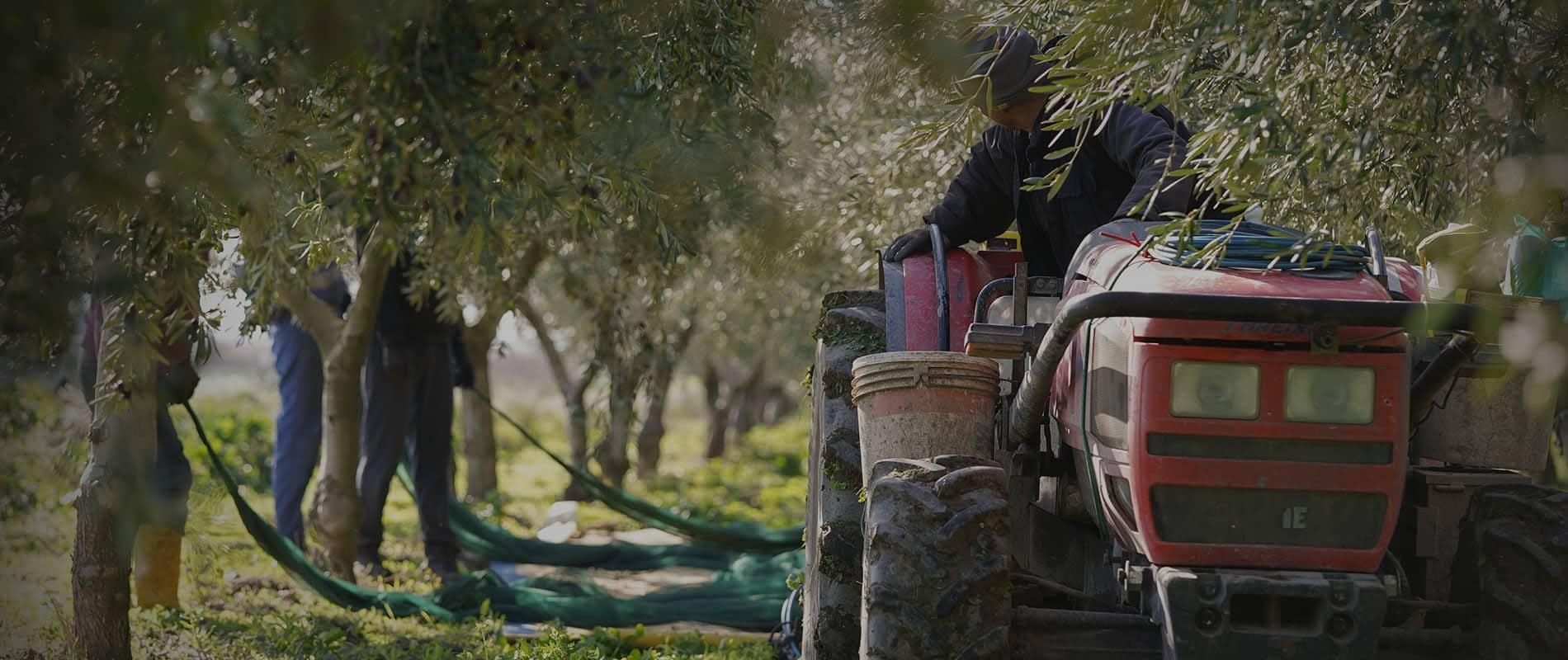 Trattore in campo di ulivi